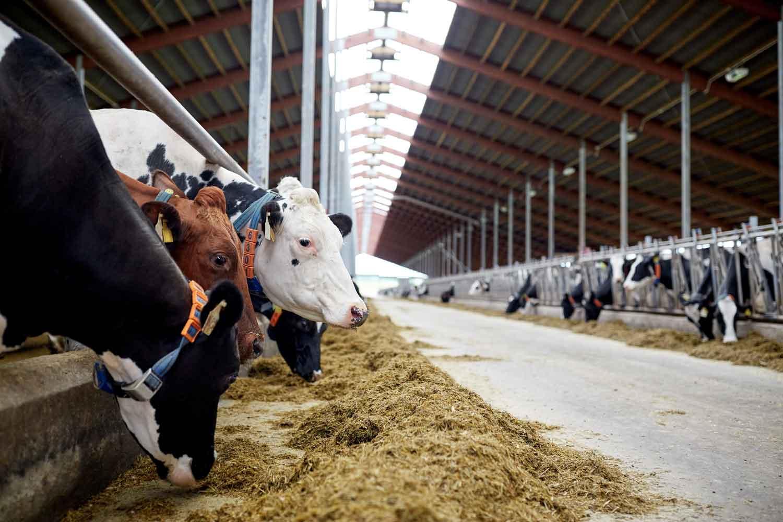 Rebaño de vacas comiendo heno en establo en granja lechera